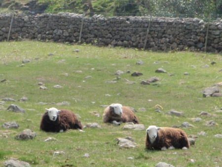 Sheep, near Great Gable.