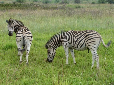 I think our presence prevented some zebra porn.