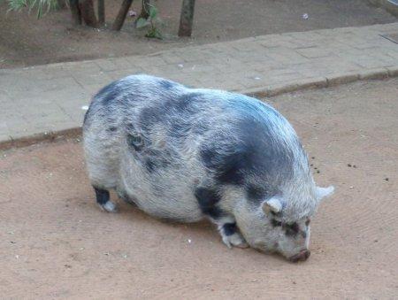 Fattest pig ever.