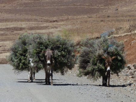 Donkeys and bushes.