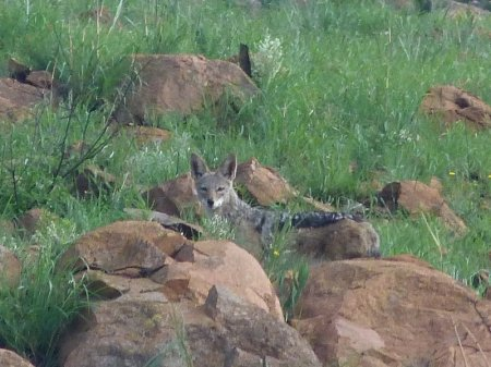 Black-backed Jackal.