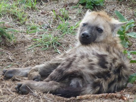 Hyenas just need better PR.