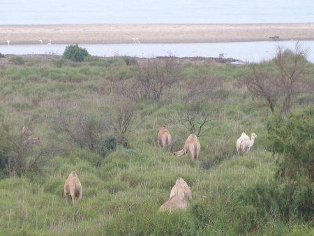 Swokopmund camels.