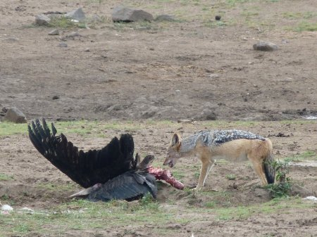 Jackal and its dinner.